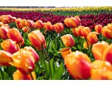 Senior Living in Mount Vernon, WA - Tiptoe Thru the Tulips